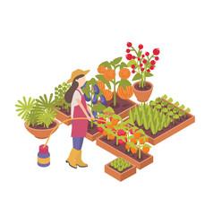 Female gardener or farmer watering crops growing vector
