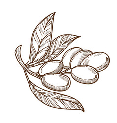 plant and fruit olive branch with leaves oil vector image