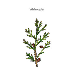 White cedar branch vector