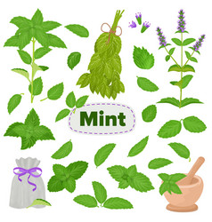 mint spearmint leaves menthol aroma and vector image