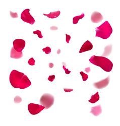 pink rose petals are falling down vector image
