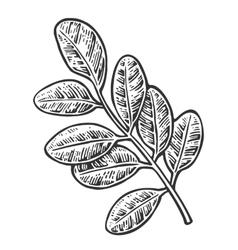 Acacia leaf vintage engraved vector