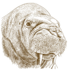 Engraving of walrus head vector