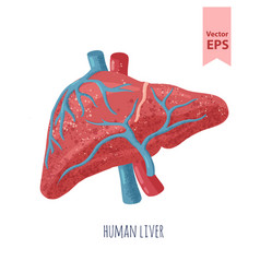 Isolated human liver anatomy vector