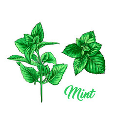 green mint tea herb branch theme isolated hand vector image