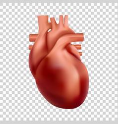 Human heart 3d realistic heart vector