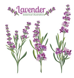 Lavender flower on white background colorful vector