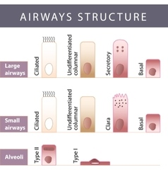 Airways structure vector