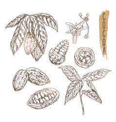 Sketch of cocoa pod with seeds branches and vector