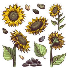 sunflowers yellow wildflower sun shaped vector image
