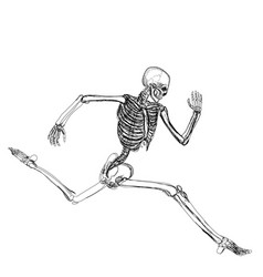 human skeleton running vector image