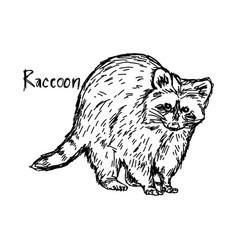 raccoon standing - sketch hand vector image vector image