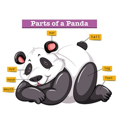Panda and different parts of the body vector image