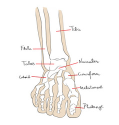 Front view foot bones text vector