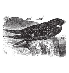 Large night hawk vintage vector