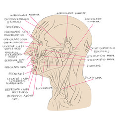 head muscles lateral color vector image