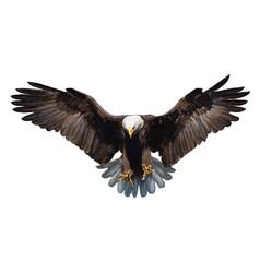 Bald eagle landing hand draw on white vector