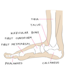 Internal lateral view foot bones color vector