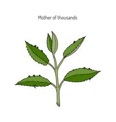Bryophyllum daigremontianum mother of thousands vector