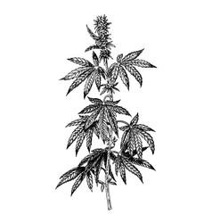 Hand drawn hemp plant with cones cannabis branch vector