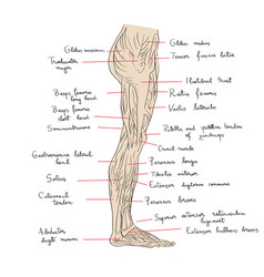 Leg muscles lateral text vector