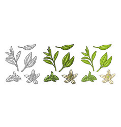 Tea branch with leaves melissa jasmine vector
