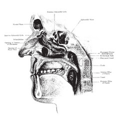 nasal cavity with openings of accessory sinuses vector image