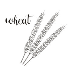 wheat sketch wheat hand vector image vector image