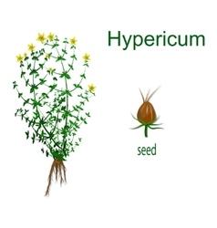 Hypericum vector image