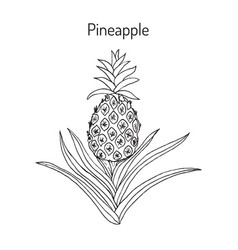 pineapple ananas comosus tropical plant vector image