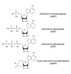Adenosine phosphates vector image vector image
