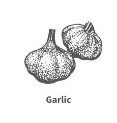 hand-drawn garlic vector image