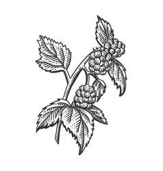 raspberry plant sketch engraving vector image