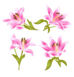 pink lily lilium candidumflower with leaves vector image