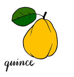 Yellow ripe quince fruit with one green leaf vector