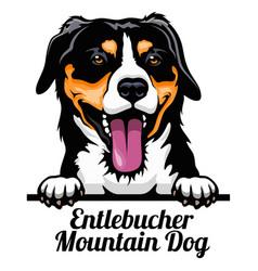 head entlebucher mountain dog - dog breed color vector image