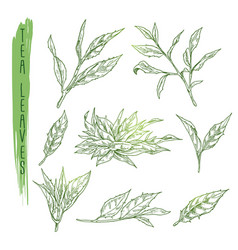 sketch of tea leaves set with silhouettes vector image
