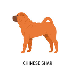 chinese shar pei cute funny dog of fighting breed vector image