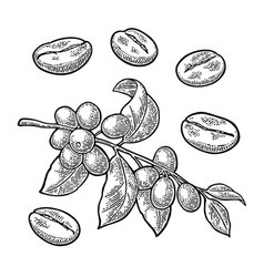 Coffee branch with leaf berry and beans vintage vector