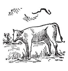 Calf vintage vector