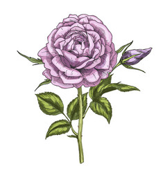 hand drawn violet rose flower isolated on white vector image vector image