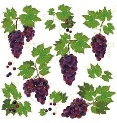 Set of black grape isolated on white background vector image