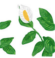 white spathiphyllum vector image vector image