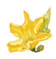 Zucchini flower vector image vector image