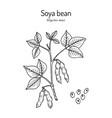 soybean or soya bean glycine max vector image