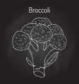 broccoli brassica oleracea edible green plant vector image