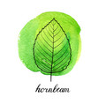 leaf of hornbeam tree vector image vector image
