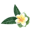watercolor frangipani flower vector image vector image