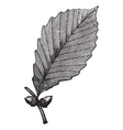 Chestnut Oak vintage engraving vector image