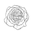 beautiful black and white rose isolated on vector image vector image